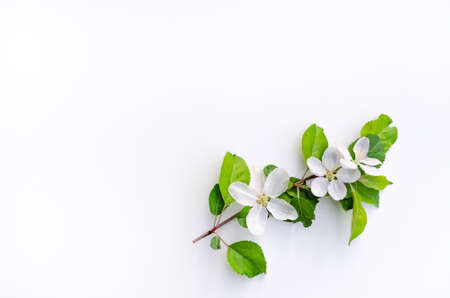 Branch of blossoming apple tree on a white background.