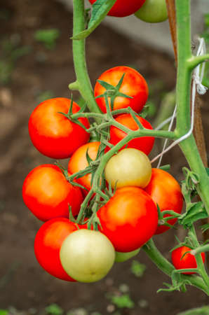 Organic tomatoes on the branches. Growth of ripe tomatoes in the greenhouse. Natural products
