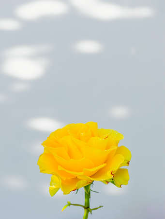 Single yellow rose on a white background.