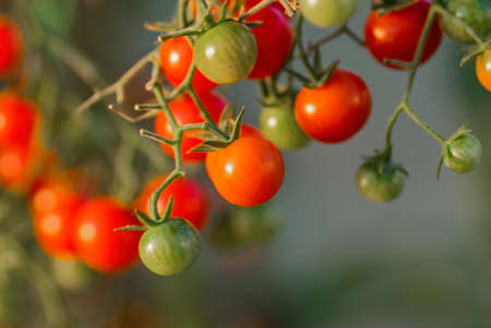 Cherry tomatoes on a branch. Growing tomatoes in a greenhouse.