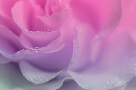 Delicate pink rose close-up. Abstract blurred background, dew drops.