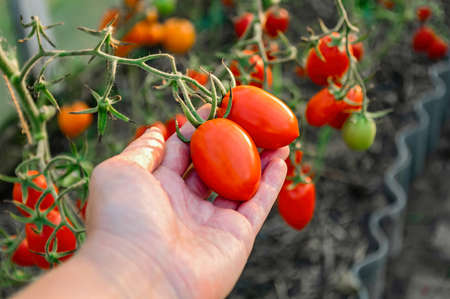Picking tomatoes in a greenhouse. Ripe tomatoes in the farmers hand.