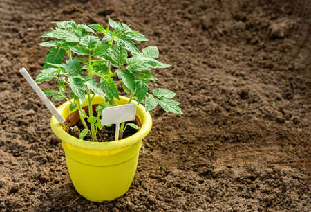 Young tomato seedlings. Agriculture concept. Yellow plastic pot for seedlings.