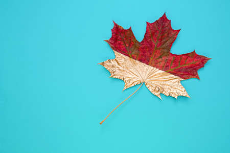 Maple leaf half painted in gold color on a blue background. Copy space. Flat lay.
