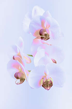 White orchid in a neon light. Close up.