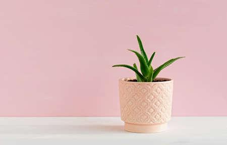 Aloe ornamental plant in a pink pot. The concept of minimalism. Фото со стока