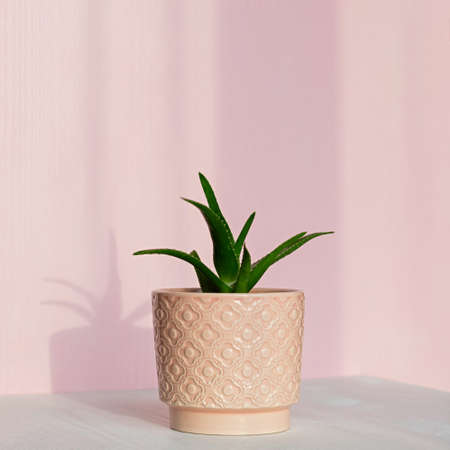 Aloe ornamental plant in a pink pot. Geometric lines of shadows. The concept of minimalism.