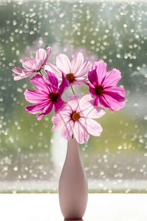 Pink Cosmea flowers in the rays of sunlight. A bouquet of summer cosmos flowers in a vase.