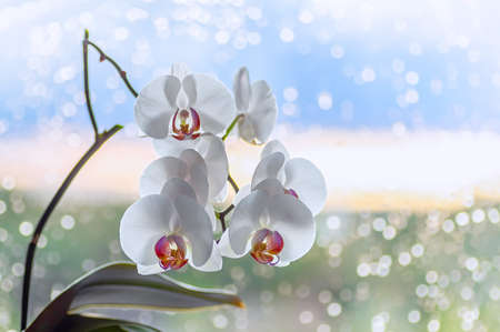 White blooming orchid on a window background. Raindrops on the glass. Close up.