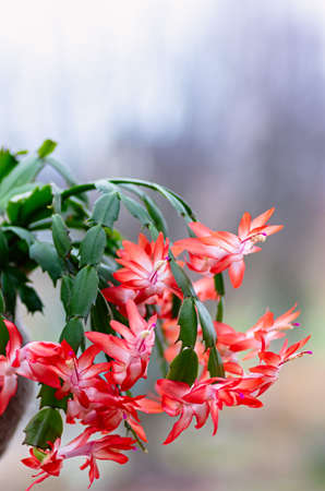 Blooming houseplant Christmas cactus Schlumbergera. Closeup. Фото со стока - 131121625