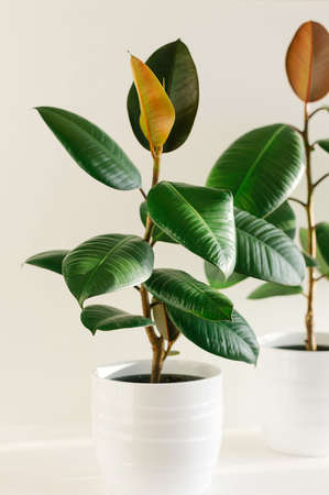 Two ficus elastic plant rubber tree in white ceramic flower pots. Close up. Фото со стока