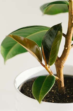 A small process of ficus of an elastic plant rubber tree . Close up.