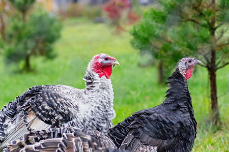 Portrait of two turkeys on a background of nature. The concept of poultry farming. Close-up. Фото со стока