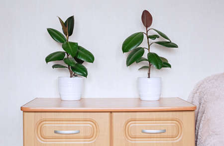 Two ficus plants in white ceramic flower pots stand on a chest of drawers in the room. Ficus elastic in the interior of the room.