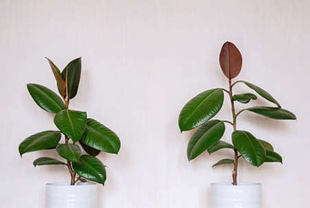 Two indoor ficus on the background of a light wall. Close-up.