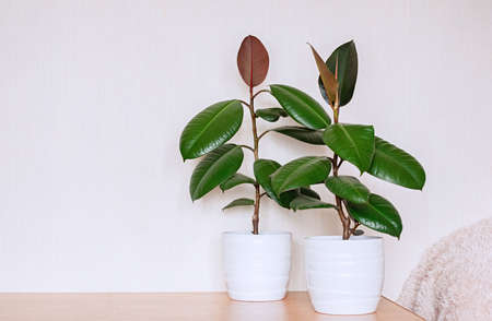 Two houseplants in white ceramic flower pots. Ficus elastic on a light background. Close up.