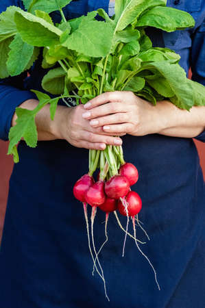 A bunch of fresh radish in female hands on a dark background. The concept of a healthy diet, vegetarianism. Close up. Фото со стока