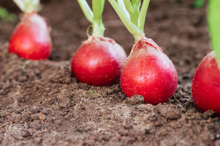 Ripe red radish in the ground on the garden. Harvest of radish close-up. eco-foods, vegetable growing. Copy spase.