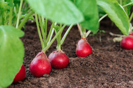 Ripe red radish in the ground on the garden. eco-foods, vegetable growing, healthy nutrition. Vegan concept. Copy spase.