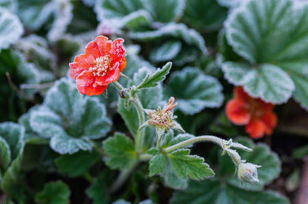 Blooming Gravilat Chilian red Geum is covered with hoarfrost after the first autumn frosts. Close up.