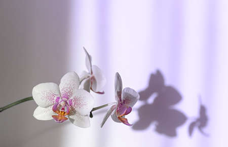 Blooming orchid closeup, shadows on the wall. Selective focus. Neon light. Close up, copy space.