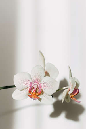 Blooming orchid closeup, shadows on the wall. Vertical frame. Selective focus. Close up, copy space. Фото со стока