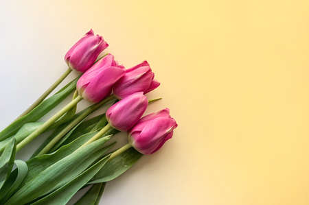 Flat lay flower composition. Pink tulips on a yellow gradient background. Copy spase. Close up. Фото со стока
