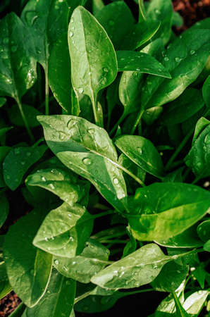 Large young green leaves of organic spinach . Drops of water on the leaves on a bright sunny day. Close up.