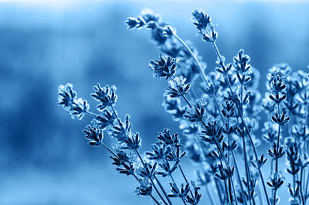 Blooming lavender in the sunlight, toned blue and blur background. Place for text. Soft light effect. Close up.