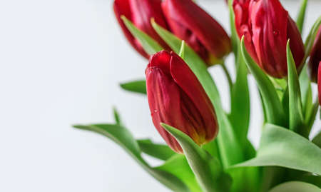 Red tulips on a white background. Selective focus. Close up. Copy space.