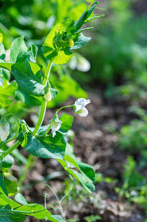 Young flowering shoots of vegetable peas. The concept of organic farming. Close up.