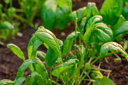 Young green spinach leaves close-up. The concept of organic farming. Close up. Фото со стока