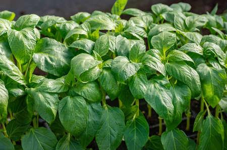 Young seedlings of sweet pepper. Healthy seedlings, organic farming. Close-up. Фото со стока