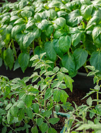 Young seedlings of sweet pepper and tomatoes. Healthy seedlings, organic farming. Close up. Фото со стока