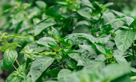 Young seedlings of sweet pepper. Healthy seedlings, organic farming. Close up.