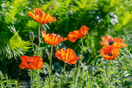 Red poppy flowers at the garden plot. Shallow depth of field. Floral background. Close up.