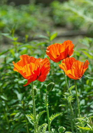 Red poppy flowers at the garden plot. Shallow depth of field. Vertical frame.
