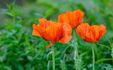 Beautiful floral background of red blooming poppies. Close up.