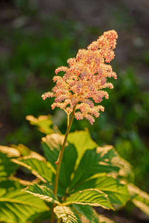 Flowering shade-loving plant Rogersia, Rodgersia aesculifolia. Summer flowering of pink chestnut. Close up.