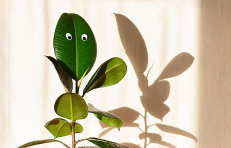 Ficus elastic plant, rubber tree on a background of a light wall. Googly eyes on the leaves. Shadows on the wall. Close up.