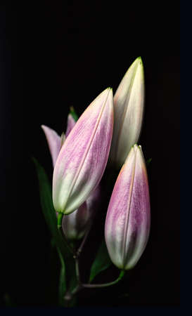Buds of pink oriental lily isolated on a black background. The concept of black minimalism. Dark floral background. Close up. Stock Photo