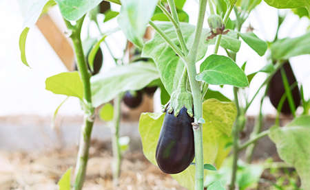 Growing eggplant in a greenhouse. Ripe eggplant in the garden close up. The concept of organic farming.