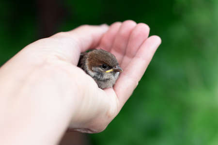 Little chick is sitting on the palm of his hand. Sparrow chick in the hand of man. Close up.