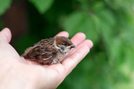 A little sparrow is sitting in a hand. Close up.