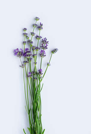 Blooming lavender on a white background. Flat lay. Vertical crop. Top view. Фото со стока