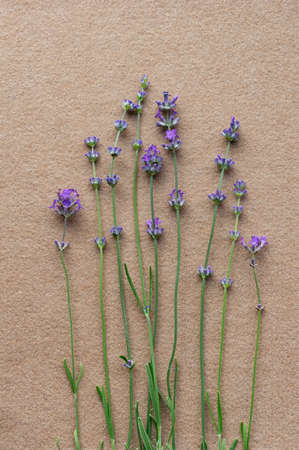 Blooming lavender on a beige felt background. Top view. Flat lay.