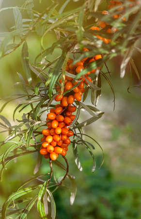 Buckthorn berries on the branch of sea-buckthorn tree. Photo closeup. Selective focus. Vertical crop. Sunny autumn day. Close up.