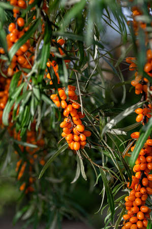 Buckthorn berries on the branch of sea-buckthorn tree. Photo closeup. Selective focus. Vertical crop. Close up.
