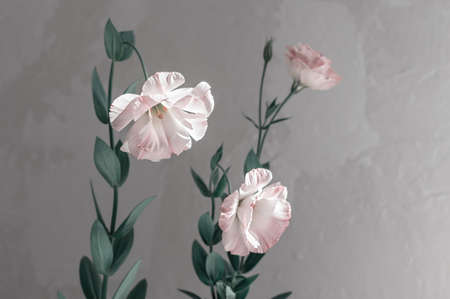 Delicate flowers of pink eustoma against the background of a gray concrete wall. Wedding flowers. Selective focus. Close up. Copy space.