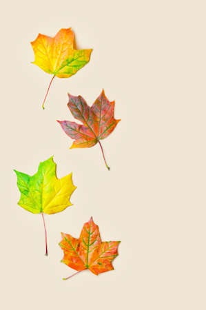Autumn natural background. Maple leaves on a light beige background. Flat lay. Copy space. Close up. Фото со стока